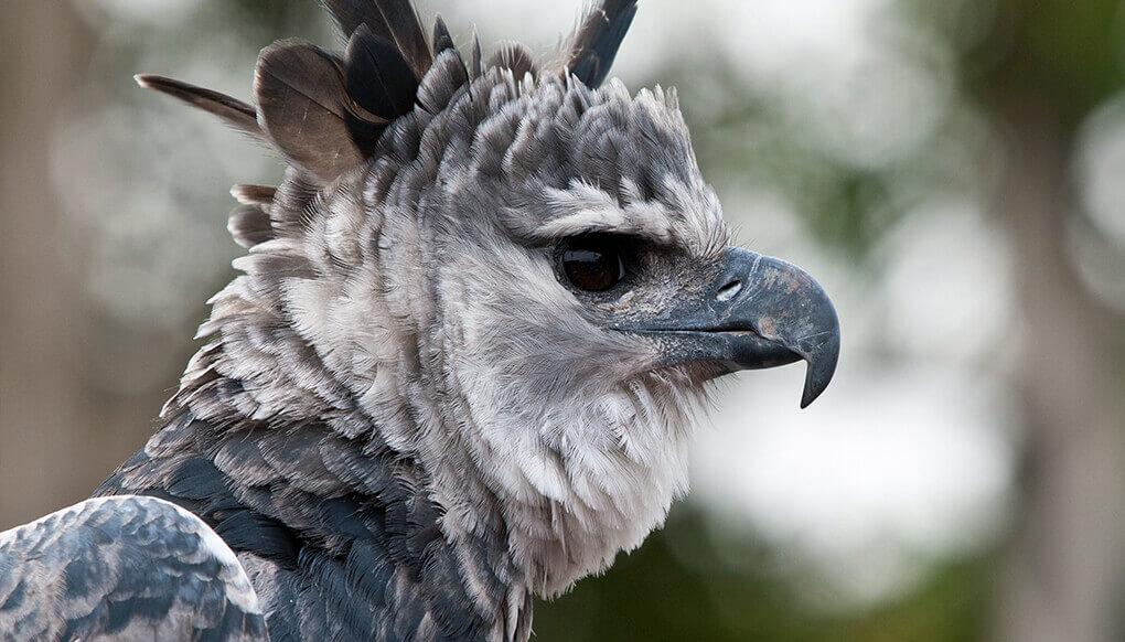 Harpy eagle looking off to the right with its crown feathers flared.