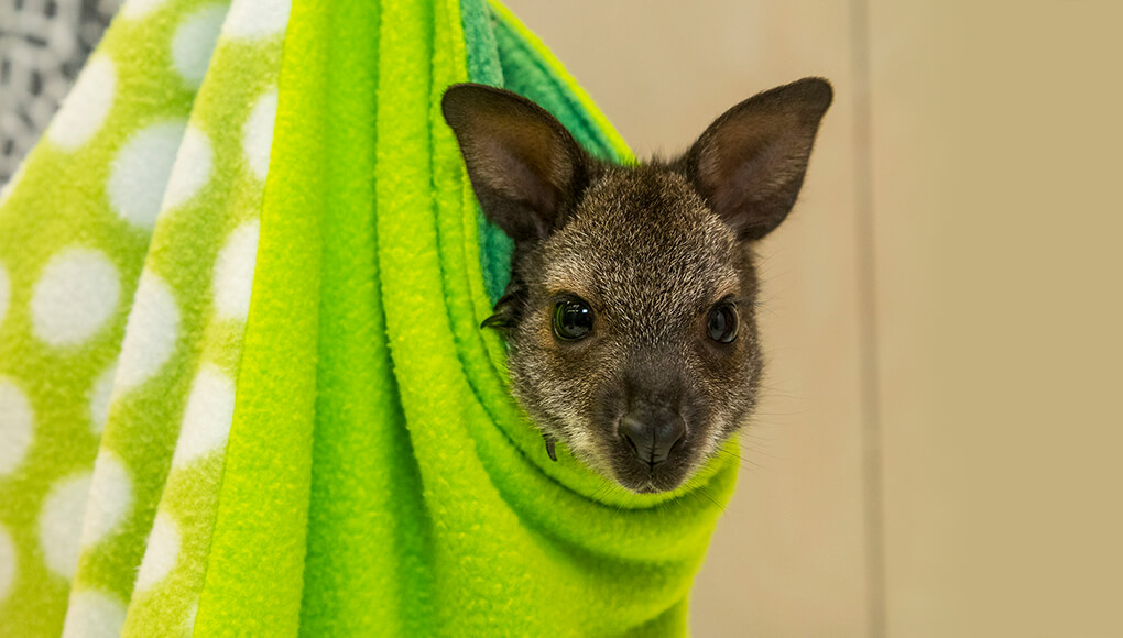 Wallaby peeking its head out of a lime-green pouch.