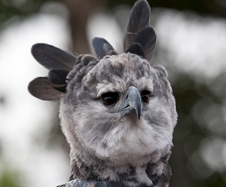 Harpy eagle with feathers flared.