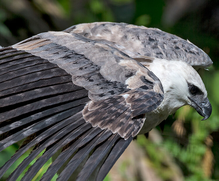 Harpy eagle perched, looking down with wings about to spread open.