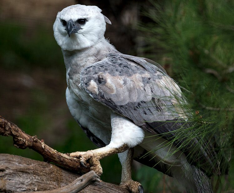 Harpy eagle perched on tree branch
