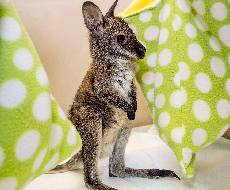 Wallaby joey standing near green pouches