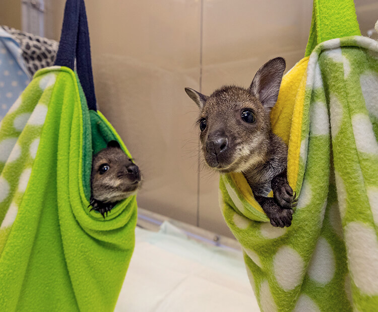 A pair of wallaby joeys in green pouches