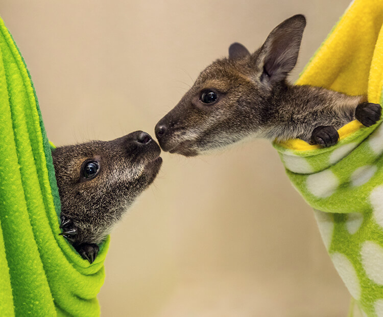 A pair of wallaby joeys sniffing each other's muzzles