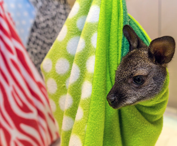 Small wallaby joey in green pouch.