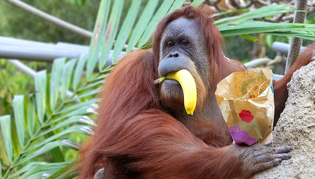 Orangutan holding a banana in her mouth.