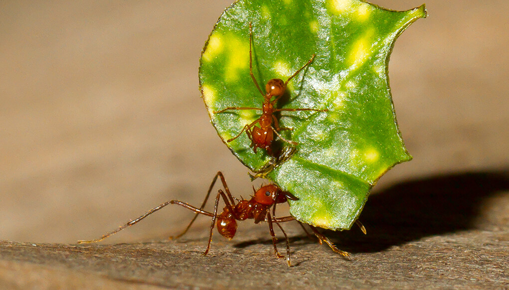 A pair of leafcutter ants carrying a piece of leaf.