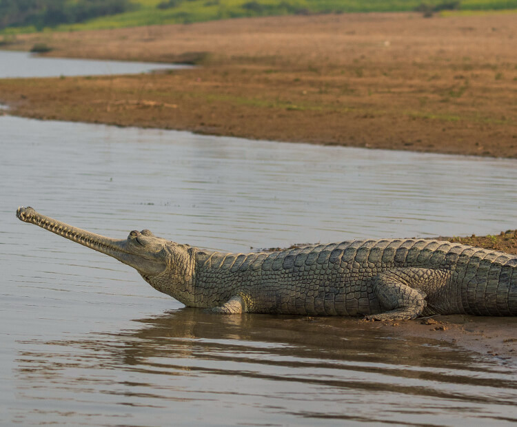 Female gharial sitting at river's edge during evening.