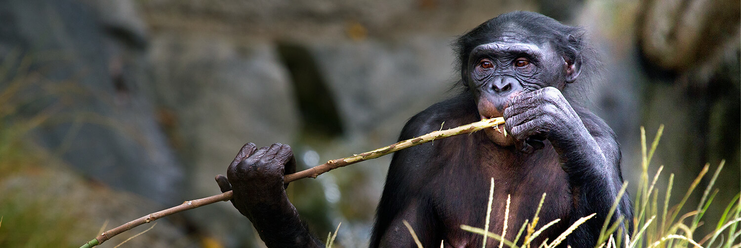 Adult bonobo chewing on branch.