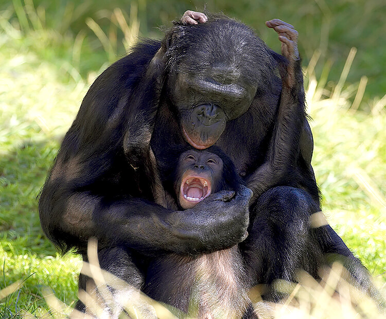 Adult bonobo tickling youngster