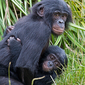 Two bonobo youngsters