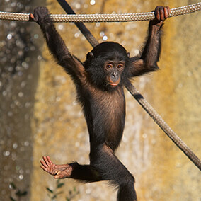 Young bonobo swinging from rope.