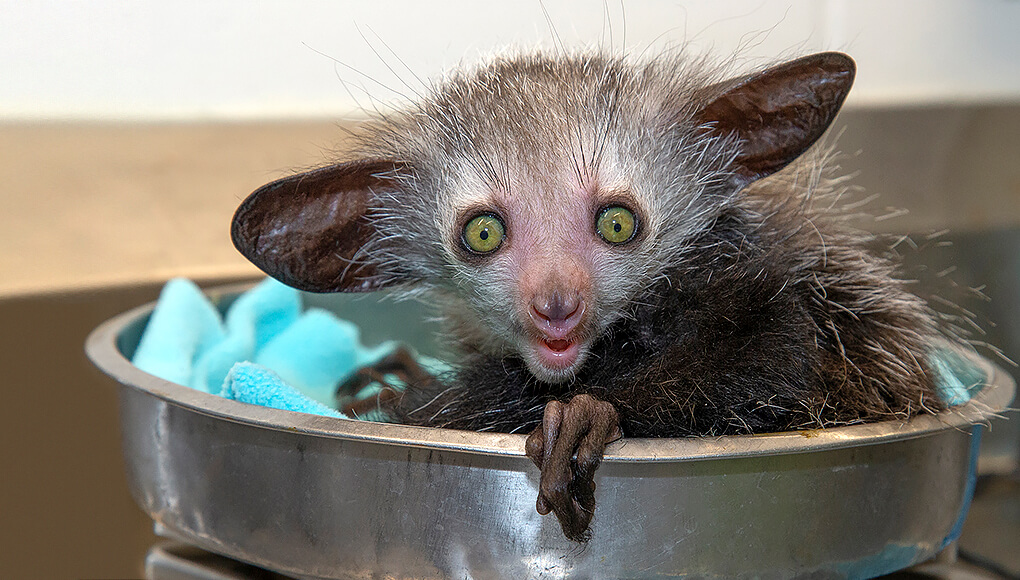Baby aye-aye sitting in scale as it is weighed by zookeepers.