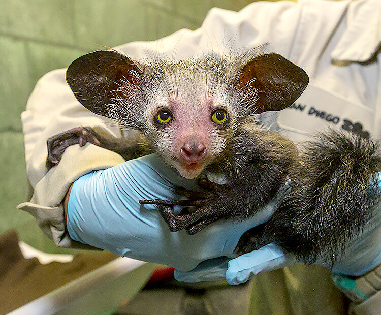Baby aye-aye held by a keeper.