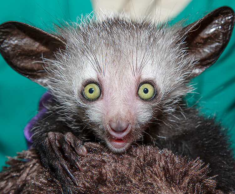 Baby aye-aye staring straight at camera as it is held in a faux fur blanket by a zookeeper.