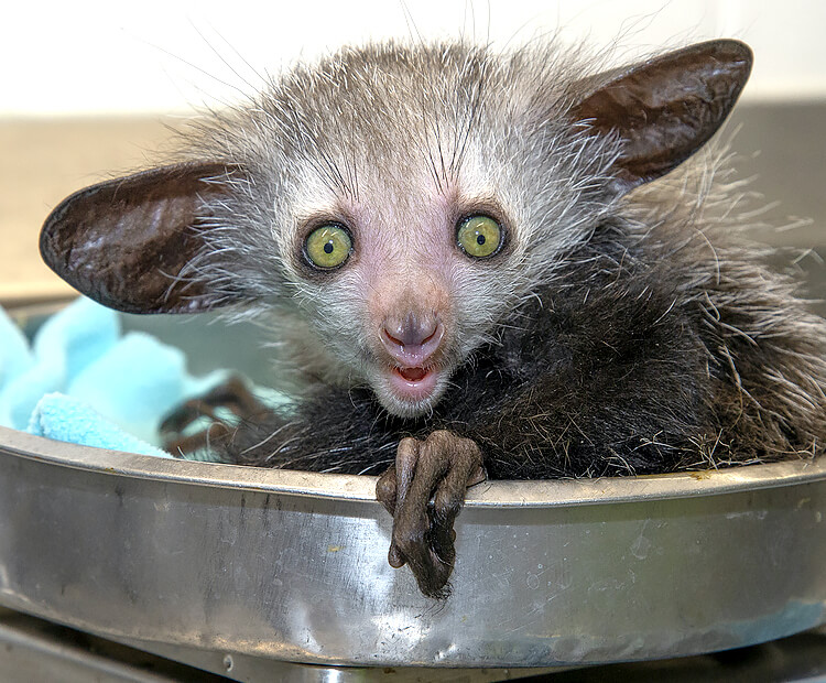 Baby aye-aye sitting in a scale.