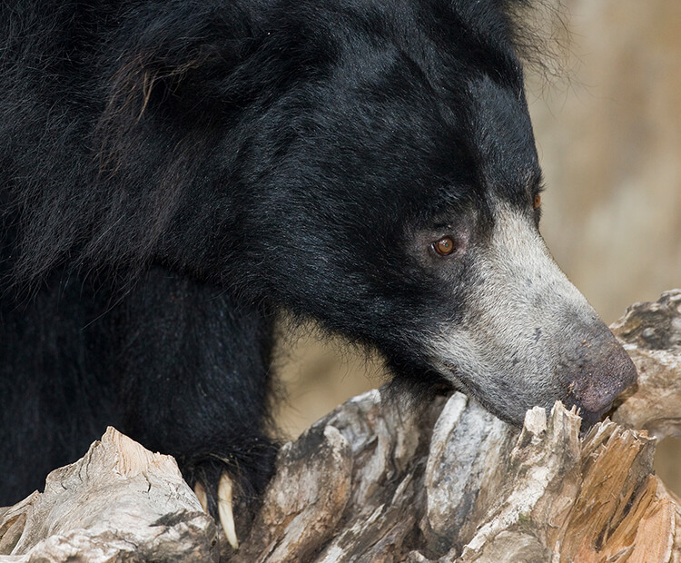 Sloth bear with snout in tree log.