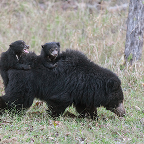 Sloth bear cubs riding on their mother's back.