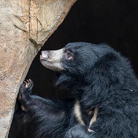 Sloth bear sniffing cave entry.