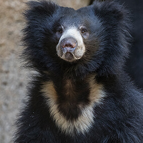 "A sloth bear displaying its unique ""u"" shaped fur patch."