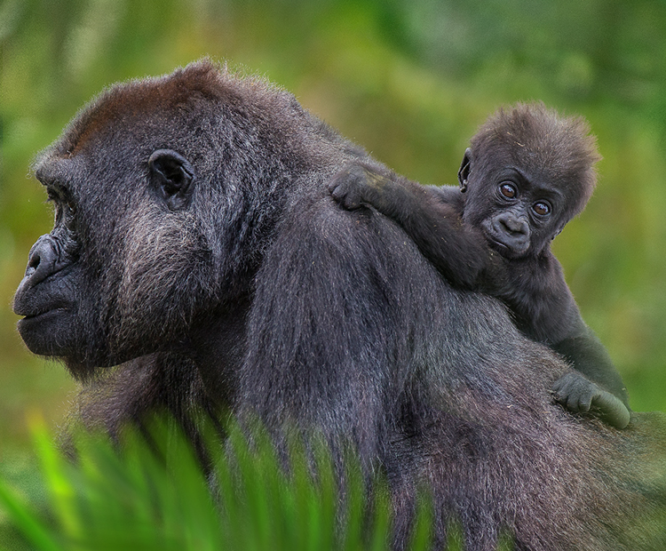 Gorilla mom with baby on her back.