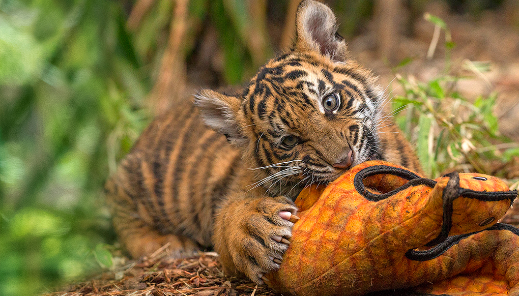 Tiger cub chewing on stuffed animal enrichment.