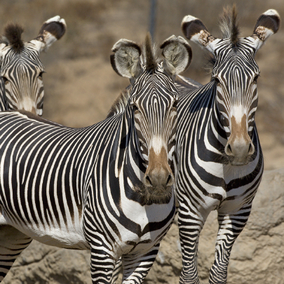 Three zebras standing together