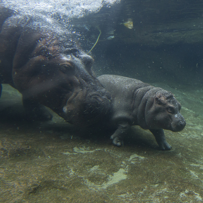Baby hippo walking underwater with its mother near behind