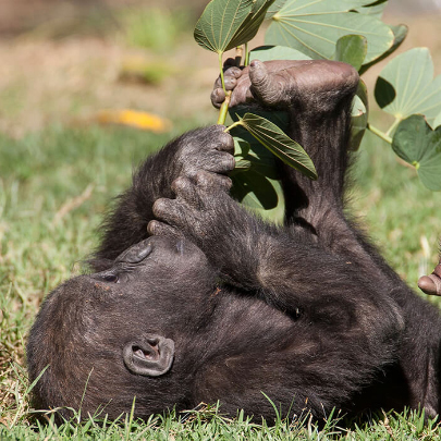 Baby gorilla using its opposable toe to hold and eat leaves