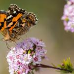 A small orange, black, brown and white spotted butterfly drinks nectar from a small pink flower