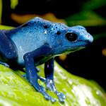 Blue poison frog sitting on a bright green tropical leaf