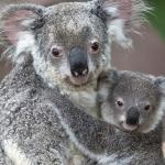 Koala mother holding baby