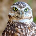 A burrowing owl cocks its head slightly to the right as it stares straight into the camera