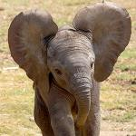Baby elephant with ears extended