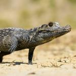 African dwarf crocodile walking on sand dotted with crab grass