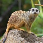 A meerkat stands on all fours on a dirt mound, looking at the camera