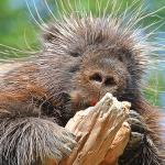 North American porcupine holding onto a piece of gnawed wood