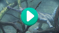 A video still of a gharial under water