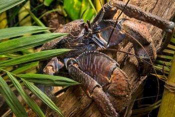 Coconut crab hanging onto a wood log behind a small palm frond
