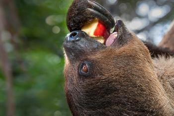 Two-toed sloth eating a red apple with one claw while hanging upside down.