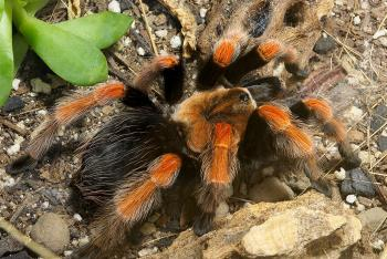 Mexican fireleg tarantula sitting on rocky ground next to green succulents