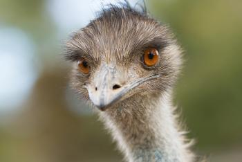 Emu looking straight into the camera