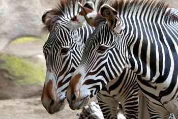 A pair of zebras with their muzzles close together