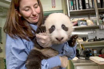 A veterinary technician holds a baby panda