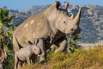 A white rhino with her calf