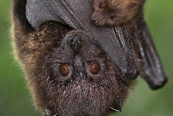 Close up of a Rodriguez fruit bat and her pup