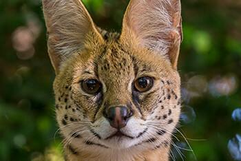 Close up of a serval