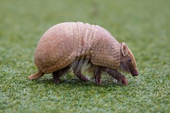 Three-banded armadillo walking across a grass field