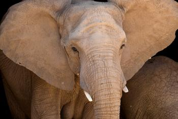 African elephant with ears extended
