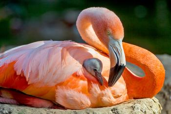 Mother flamingo sits on a mud mound nest as her chick rests folded under her wing with tiny fuzzy gray head peeking out.